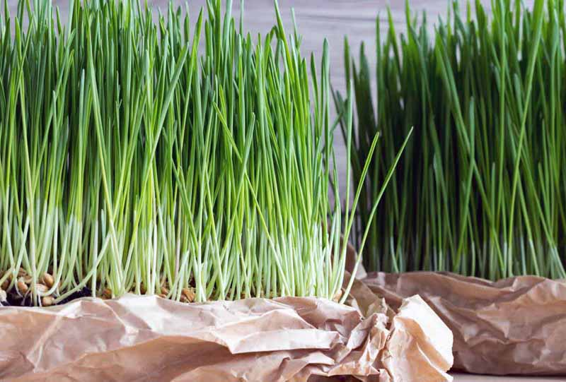 how to buy wheatgrass